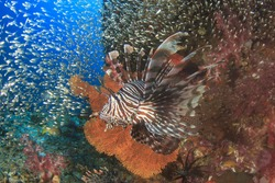 Lionfish hunting on coral reef