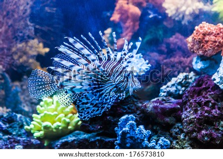 Stock Photo Lionfish in a Dubai aquarium. Pterois mombasae. Petrois Volitans. Lionfish. Turkeyfish. Scorpionfish. Firefish.