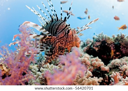 Lionfish on the coral reef