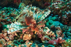 Lionfish (Pterios volitans), Rainbow Reef near Taveuni Island, Fiji, South Pacific