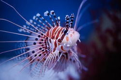 Lionfish (Pterois mombasae)