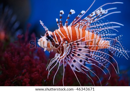Lionfish (Pterois mombasae) in a Moscow Zoo aquarium - stock photo