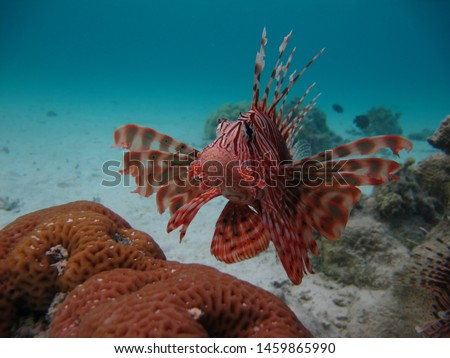 lionfish Skorpenovye, Lionfish warrior, Lion fish, Zebra fish,