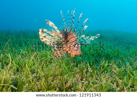 Lionfish spreads out its spines as it swims over seagrass