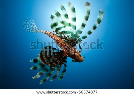 lionfish,sun and ocean