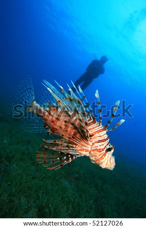 Lionfish with Scuba Diver in background