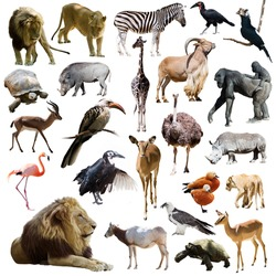 lions and other African animals. Isolated over white background