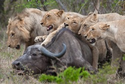 Lions are very protective of their food after they have put in the effort to hunt and catch their prey.