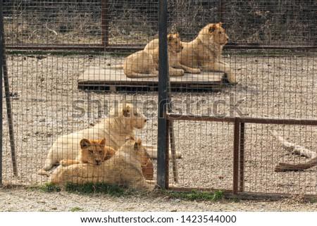 Lions behind bars. Predators of the Belogorsk Safari Taigan Park. #1423544000