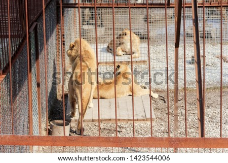 Lions behind the fence. Predators of the Belogorsk Safari Taigan Park. #1423544006