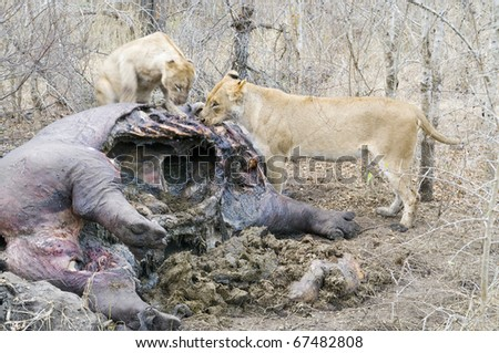 Lions eating a dead Hippo carcass