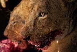 Lions feeding on a fresh Buffalo kill, at night, on a safari in South Africa