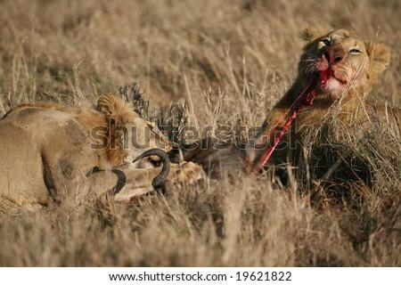 Lions Feeding on a Wildebeest in the Masai Mara, Kenya Africa