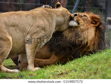 Lions for World Lion Day #1154807572