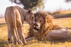 Lions in safari park