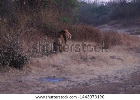 Lions in Sasan Gir National Forest