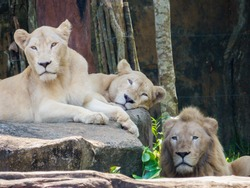 Lions in the nature