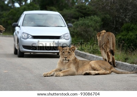 Lions in the road with tourists in a car in the background