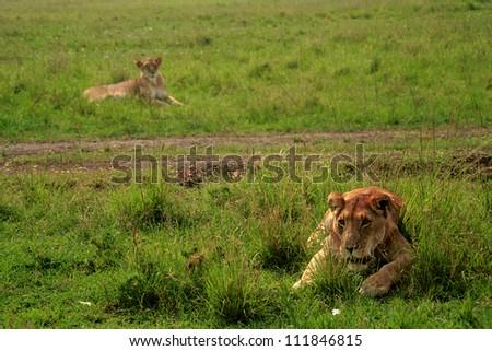 Lions, Masaai Mara Game Reserve, Kenya