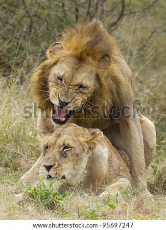 Lions mating (Panthera leo) Kruger Park, South Africa