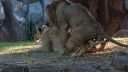 Lions mating, Sex lion a pair of mating lions in love having sex