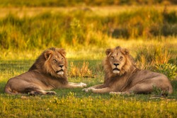 Lions of Moremi Game Reserve in Botswana