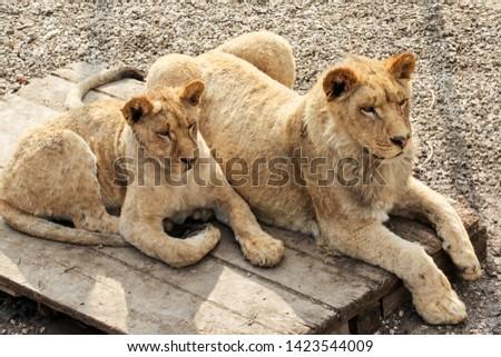 Lions on a wooden pallet. Predators of the Belogorsk Safari Taigan Park. #1423544009