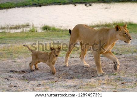 Lions (Panthera leo),  Chobe National Park, Botswana.