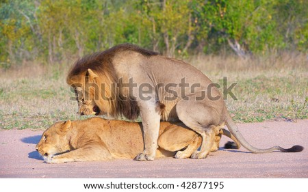 Lions (panthera leo) mating in the wild in South Africa