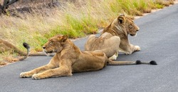 Lions relax on the street in the Kruger National Park in South Africa on safari in Mpumalanga.