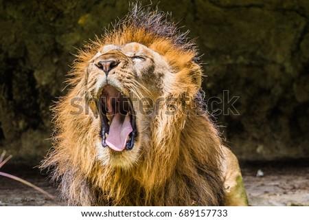 Lions Roar #689157733