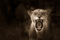 Lions showing off their canine teeth on wildlife photographic safaris in south africa