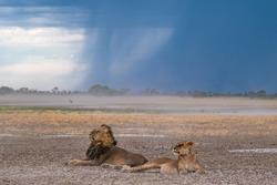 Lions under the stormy kalahari sky