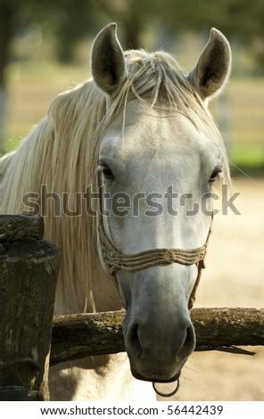 Lipizzan horse closeup