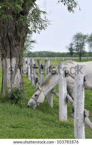 Lipizzaner horse shoved head through the wooden fence and graze #103781876