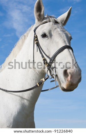 Lipizzaner White Horse Isolated on by the blue sky