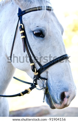 Lipizzaner White Horse with reins from the side/front