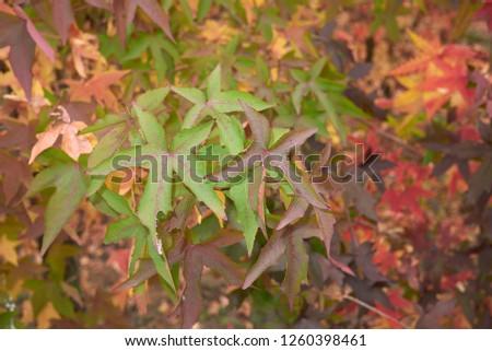 Liquidambar styraciflua colorful foliage in autumn