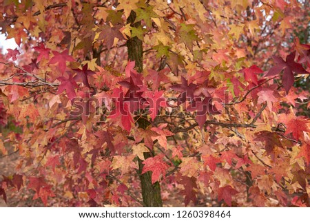 Liquidambar styraciflua colorful foliage in autumn