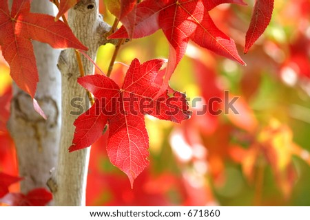 Liquidambar turning color
