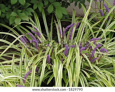 Liriope a grass like perennial with variegated foliage for Grass like flowering plants