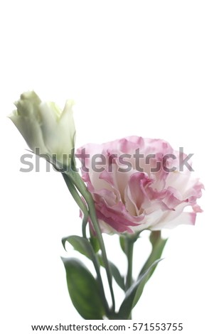 Lisianthus flower pink color of lisianthus flower on white wooden lisianthus flower pink color of lisianthus flower on white wooden background pink lisianthus flower mightylinksfo
