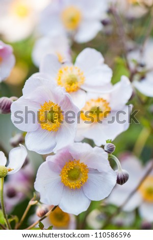 lit by sunlight flowers in the garden. Anemone japonica