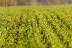 literally shallow depth of field showed on young winter wheat field