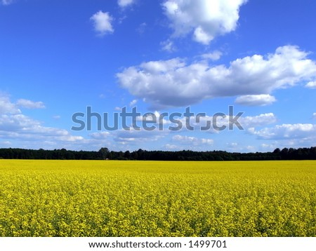 Lithuanian landscape with blossoming colza and sky with blue cloouds