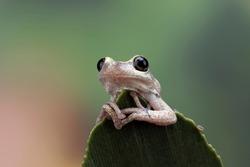 Litoria rubella tree frog among the green leaves, Australian tree frog closeup on green leaves, Desert tree frog closeup