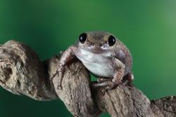 Litoria rubella tree frog on branch, Australian tree frog closeup on branch, litoria rubella
