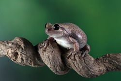 Litoria rubella tree frog on branch, Australian tree frog closeup on branch, litoria rubella closeup