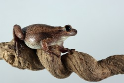 Litoria rubella tree frog on branch with grey background, Australian tree frog closeup on branch, litoria rubella closeup