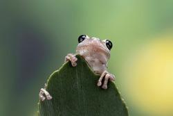 Litoria rubella tree frog on green leaves, Australian tree frog closeup on green leaves, Desert tree frog closeup